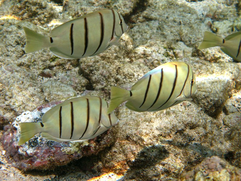 Convict Tang For Sale Convicttangsb Convict Tang